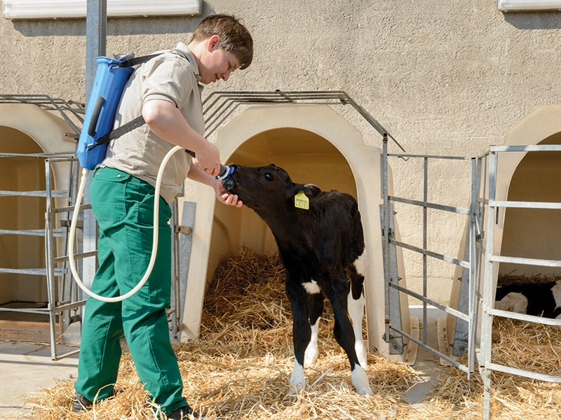 Feeding colostrum
