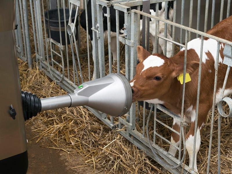 drinking calf