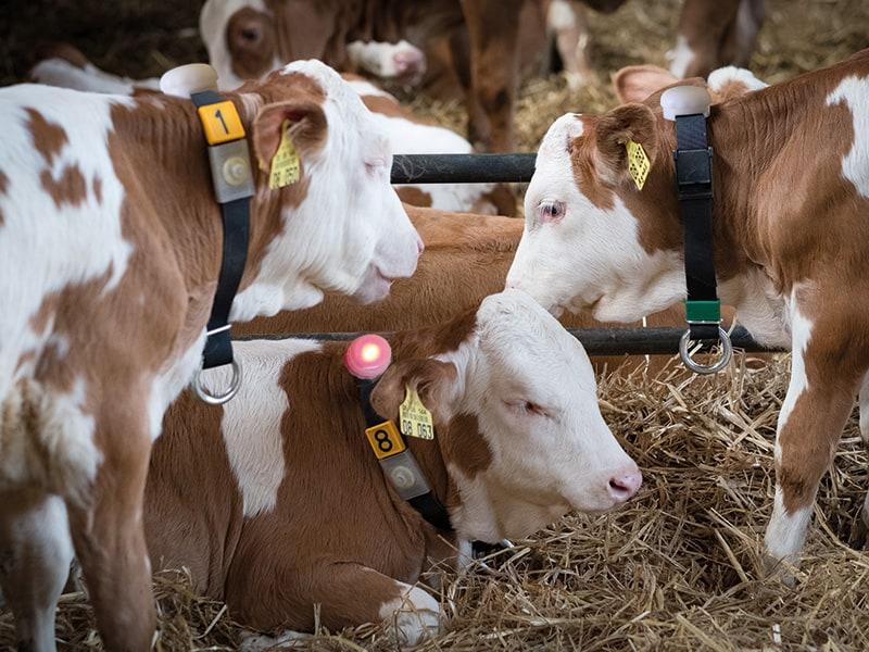 Neckband for calves