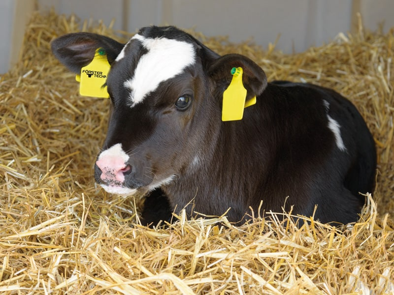 Calf is fed colostrum
