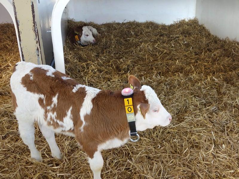 Calf neckband