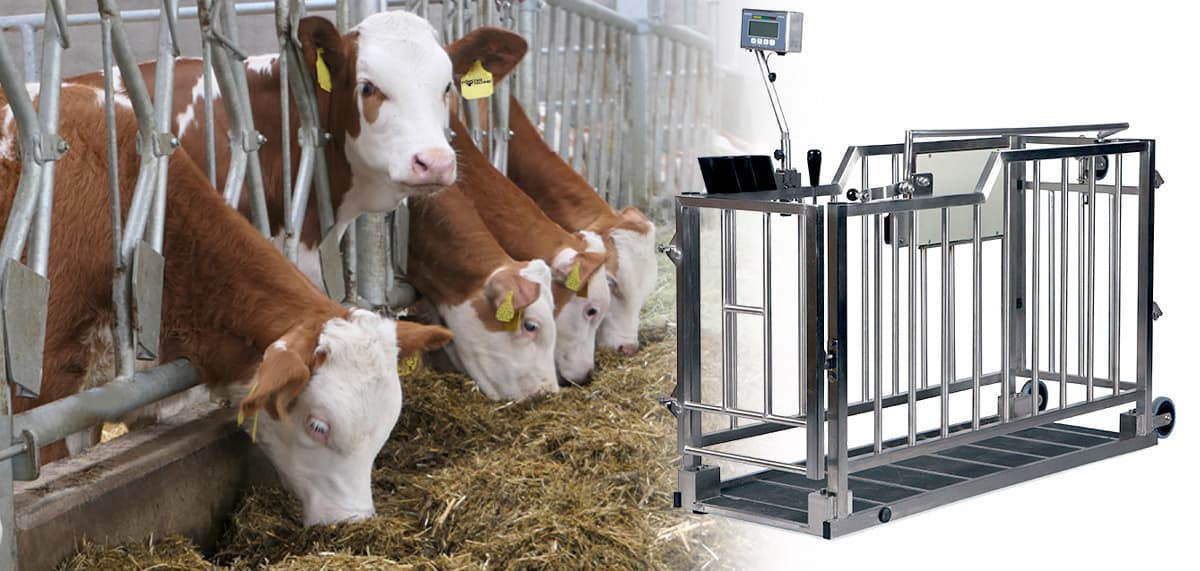 Mobile animal scale - weigh calves quickly and easily